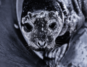 Meet Quince, Rescued Harbour Seal Pup